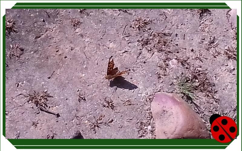 lepidoptero, ala rota, mariposa marron, cuentitis aguda
