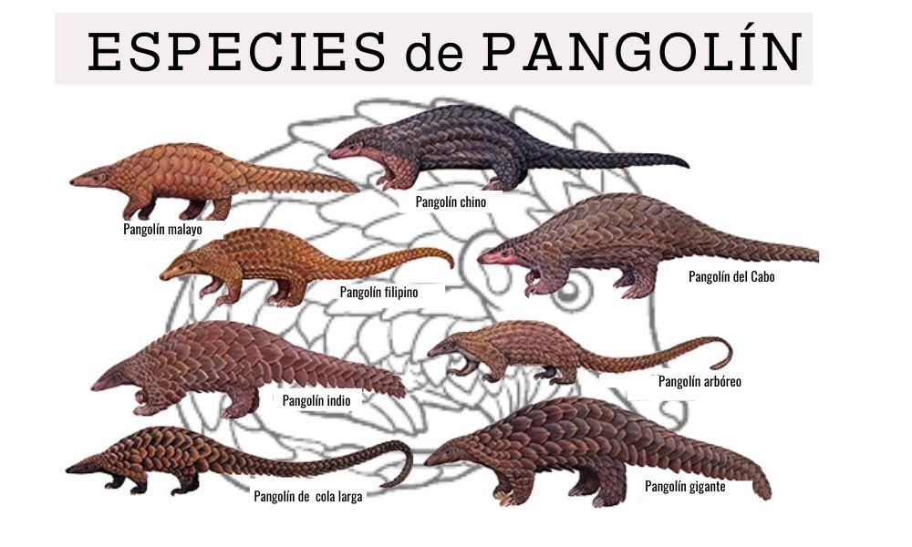 ocho imágenes de las distintas especies de pangolin