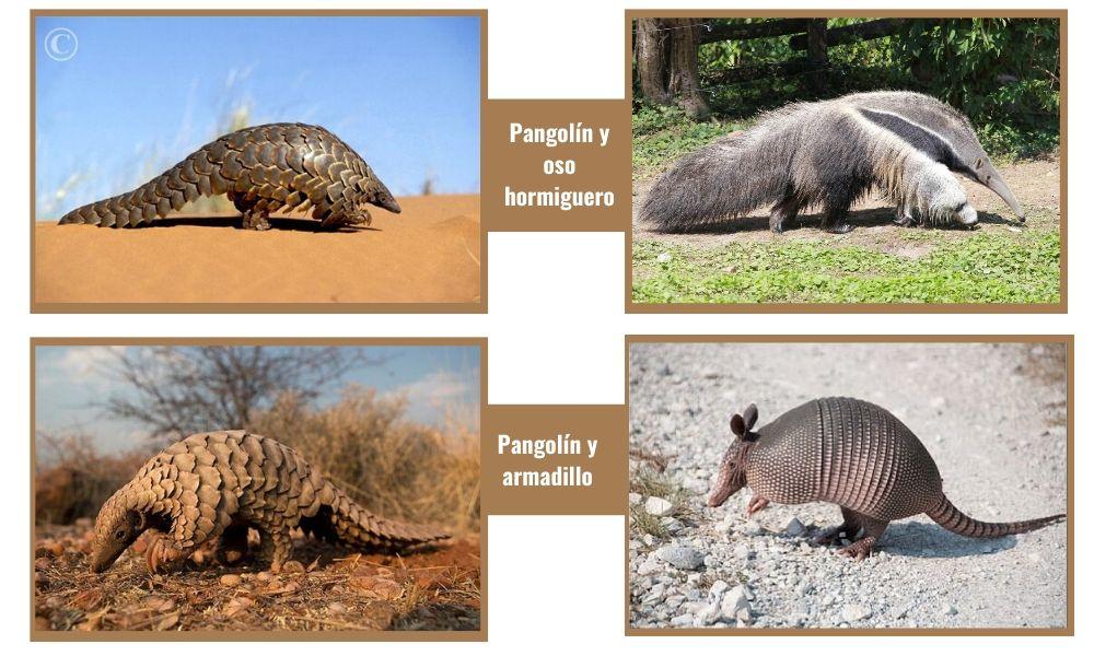 imagenes de pangolin oso hormiguero y armadillo