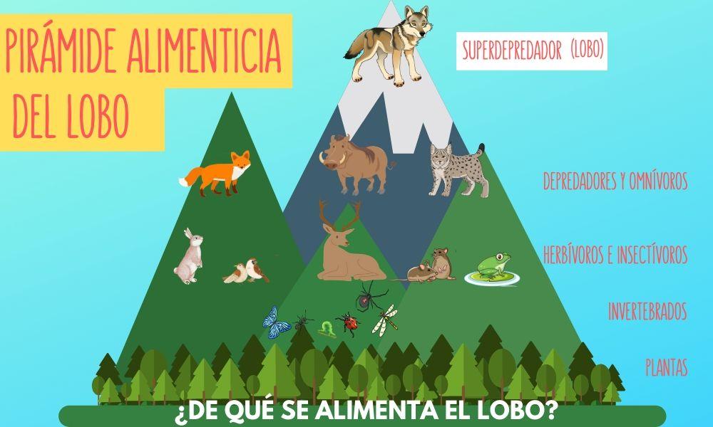 esquema con la representación de la pirámide alimenticia del lobo par aniños