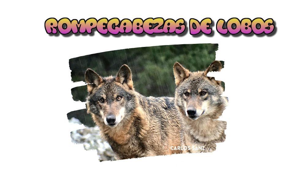 imagen de dos lobos con título: rompecabezas de lobos