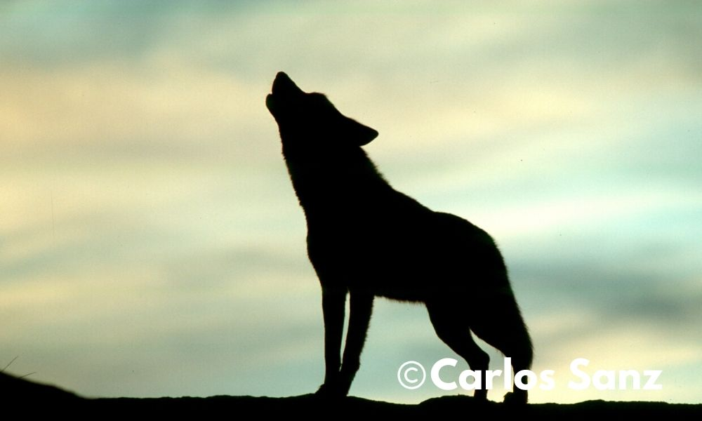 silueta de lobo aullando