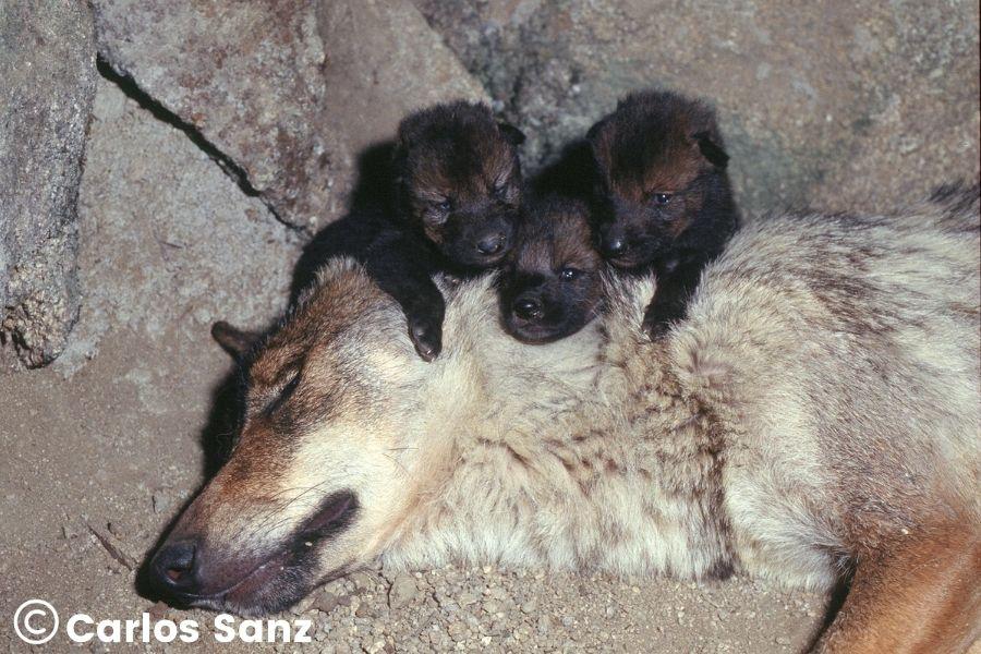 lobeznos subidos a la cabeza de su madre